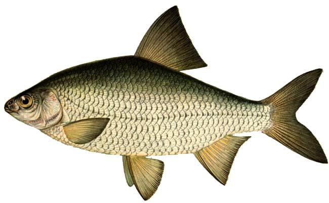 Тарань — очень подвижная стайная рыба Такие съедобные